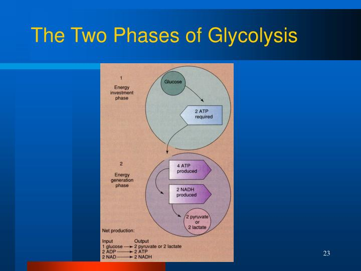 The Two Phases of Glycolysis