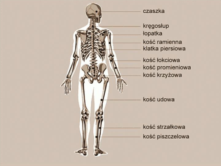 Szkielet: