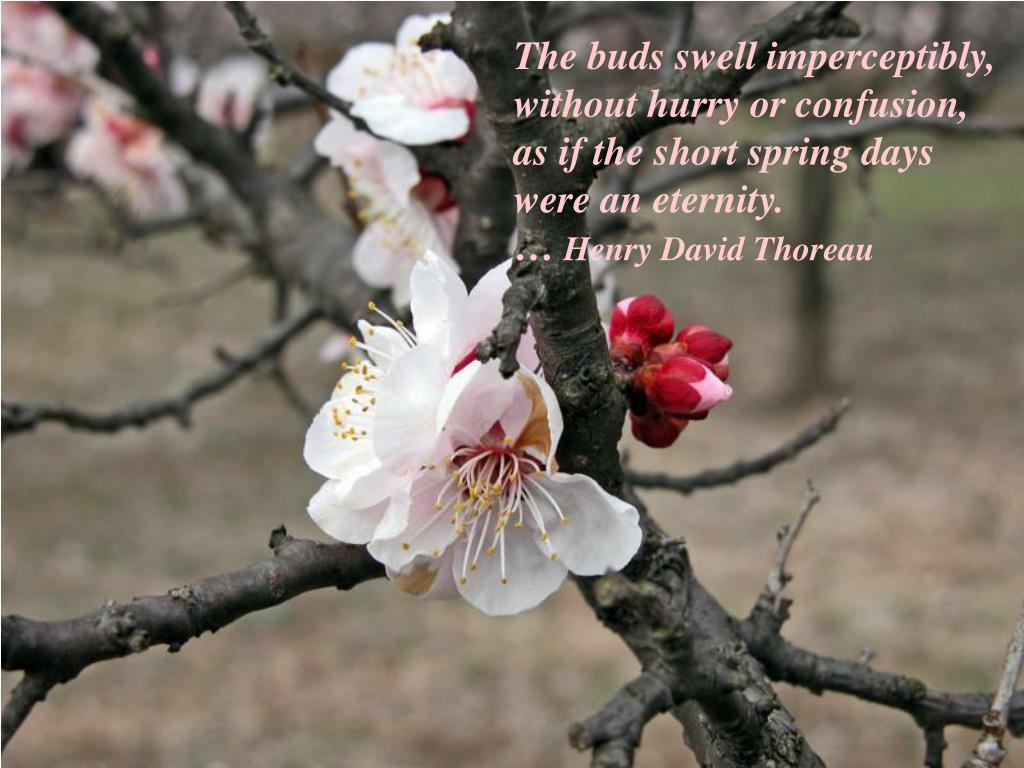 The buds swell imperceptibly,