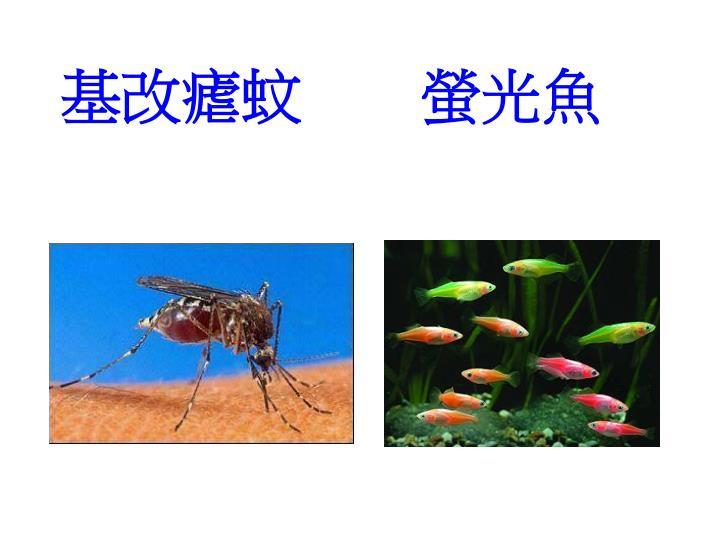 基改瘧蚊        螢光魚