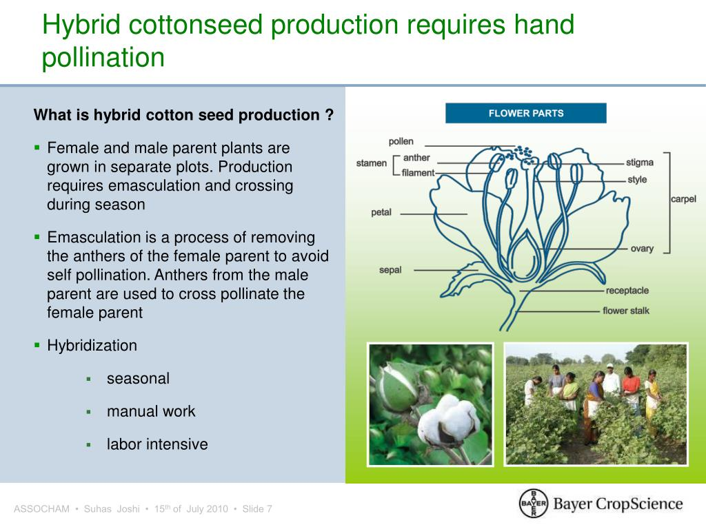 Hybrid cottonseed production requires hand pollination