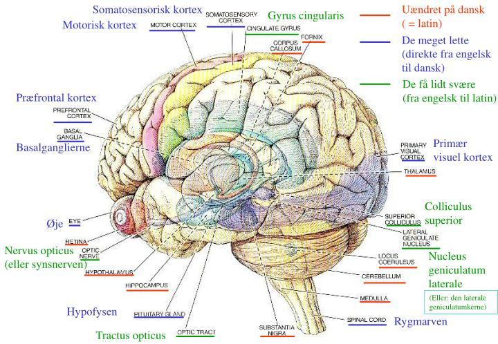 Somatosensorisk kortex
