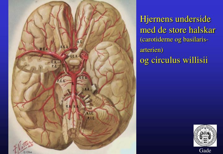 Hjernens underside