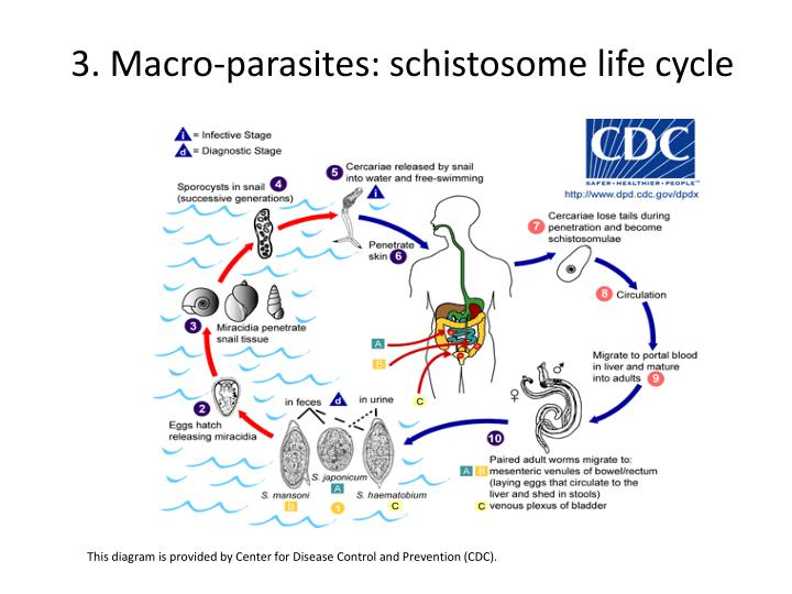 3. Macro-parasites: