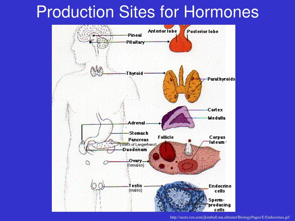 Production Sites for Hormones