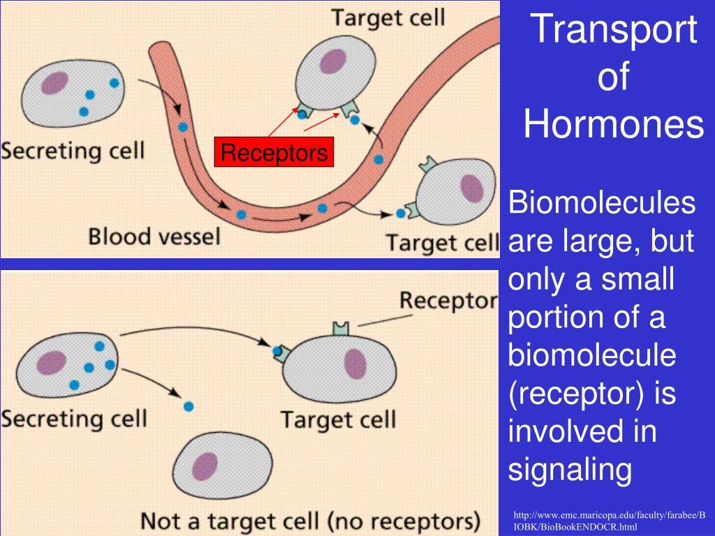 Transportof Hormones