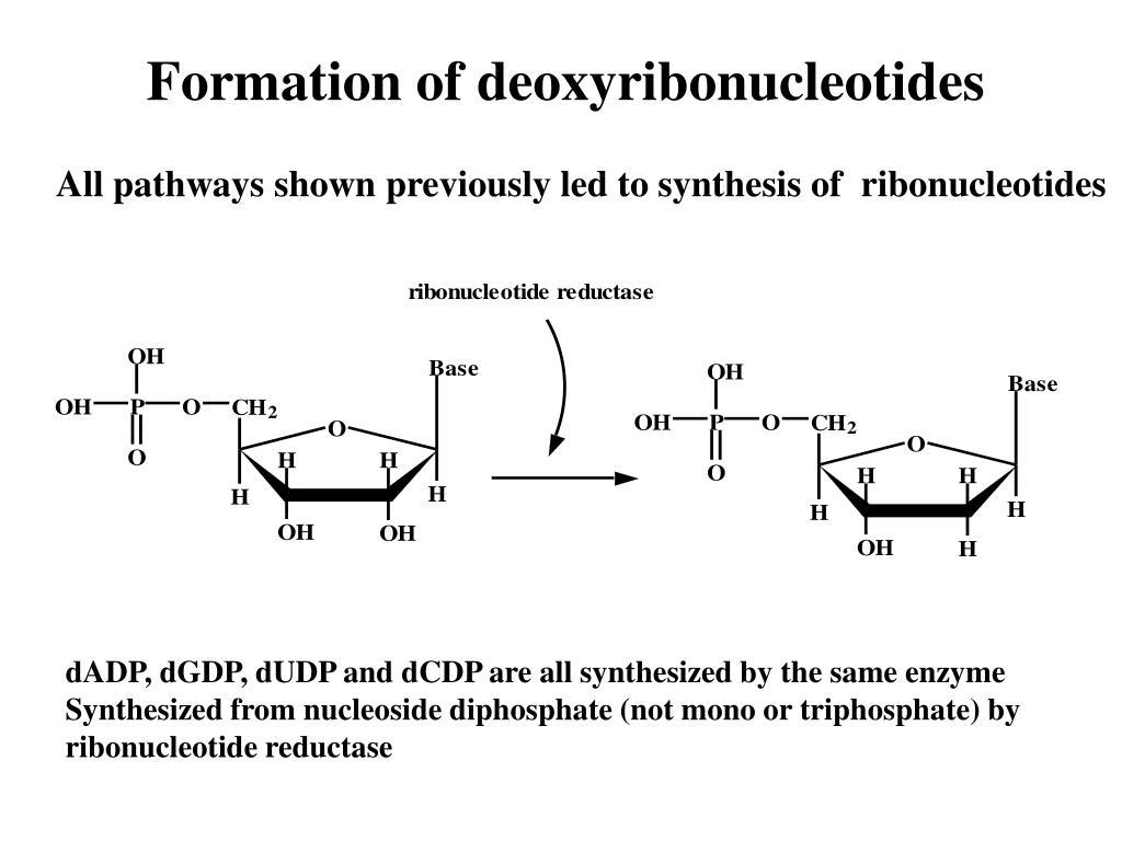 Formation of deoxyribonucleotides