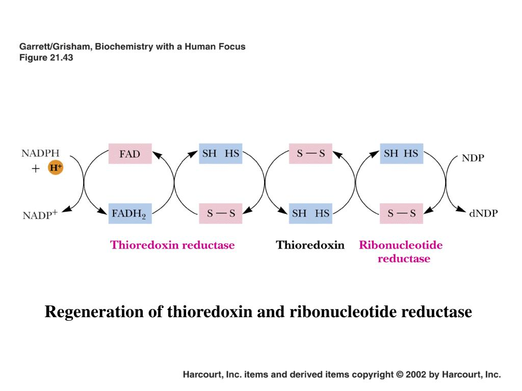 Regeneration of thioredoxin and ribonucleotide reductase