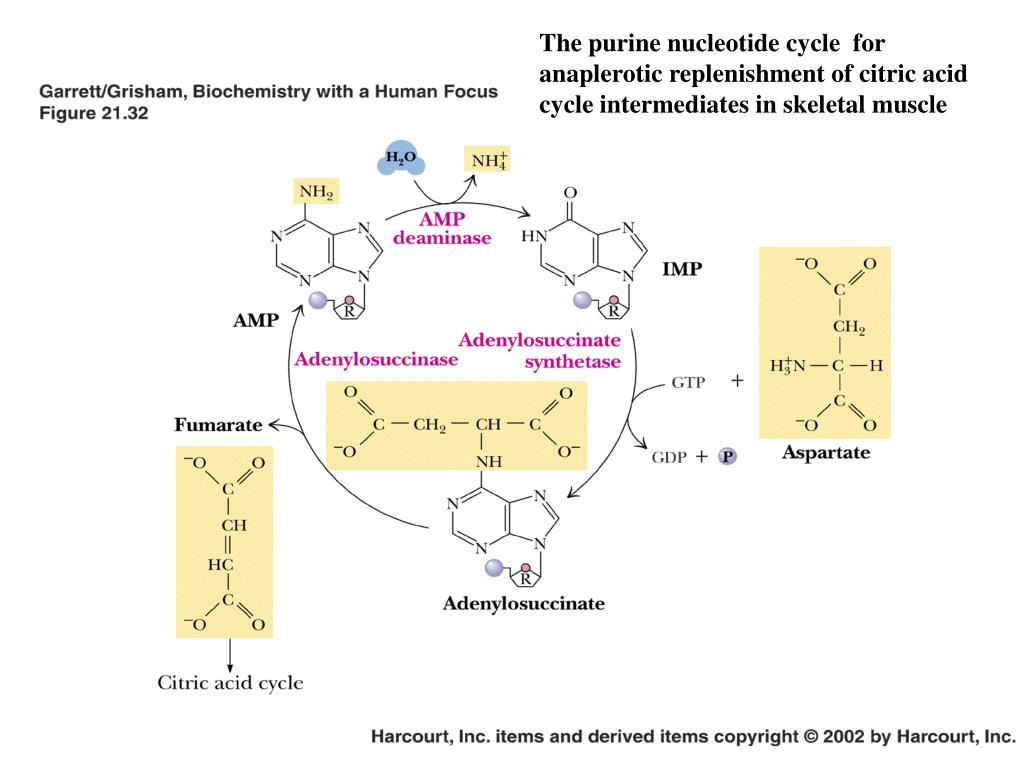 The purine nucleotide cycle  for anaplerotic replenishment of citric acid cycle intermediates in skeletal muscle
