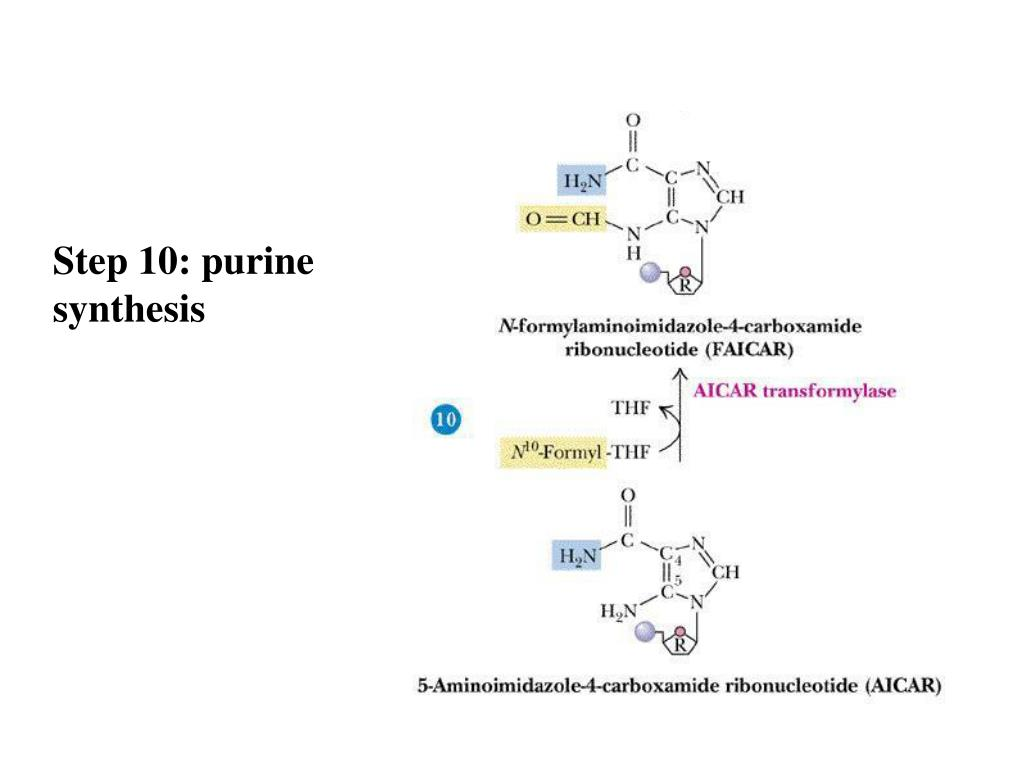 Step 10: purine synthesis