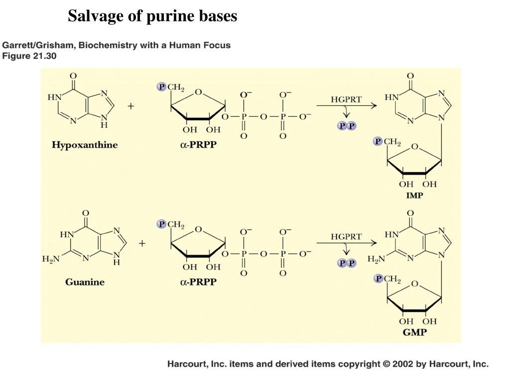 Salvage of purine bases