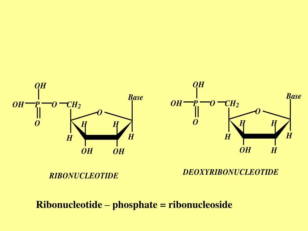 Ribonucleotide – phosphate = ribonucleoside