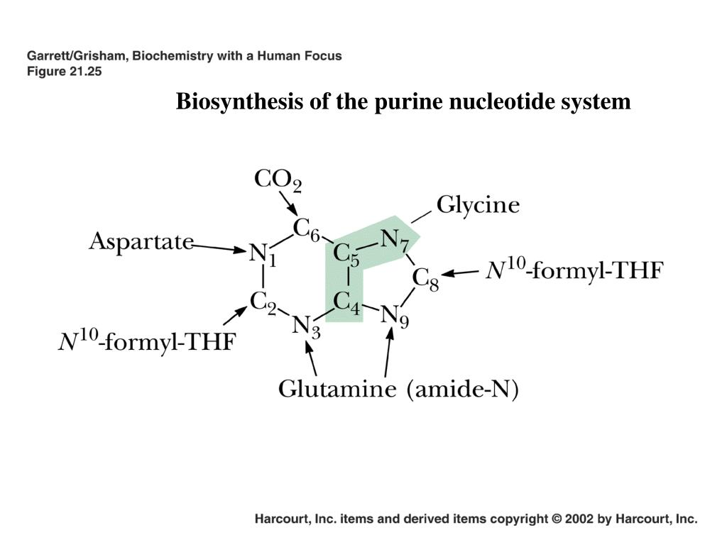 Biosynthesis of the purine nucleotide system