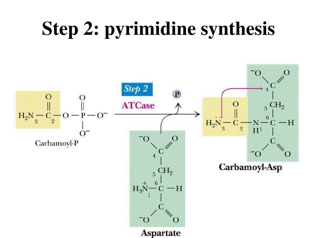 Step 2: pyrimidine synthesis
