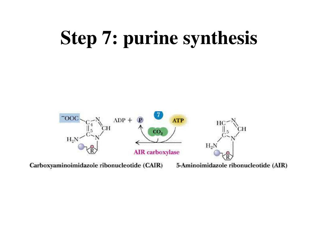 Step 7: purine synthesis