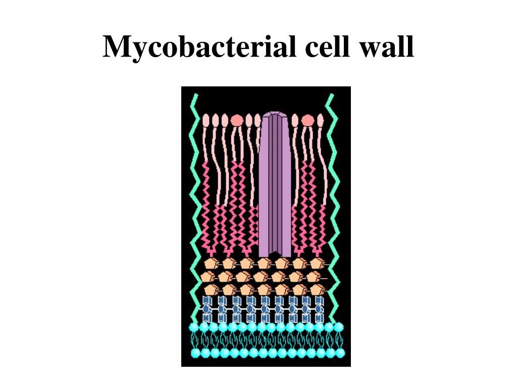 Mycobacterial cell wall