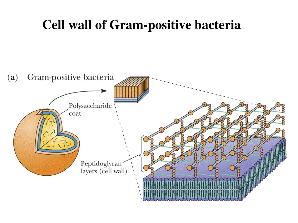 Cell wall of Gram-positive bacteria