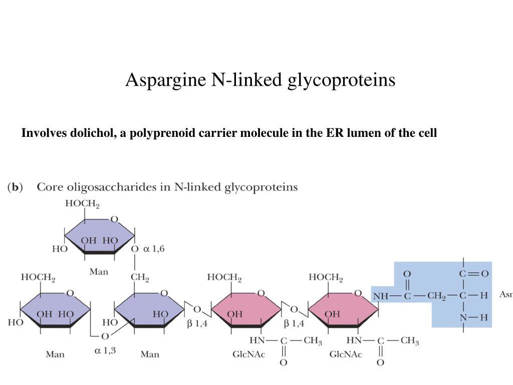 Aspargine N-linked glycoproteins
