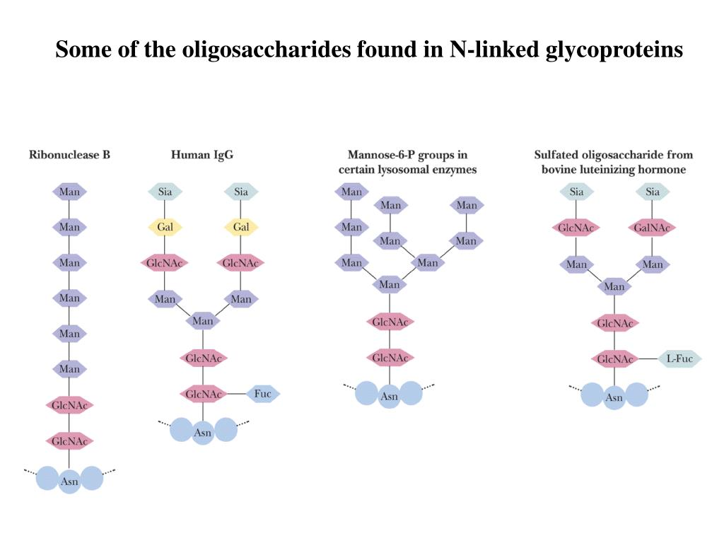 Some of the oligosaccharides found in N-linked glycoproteins