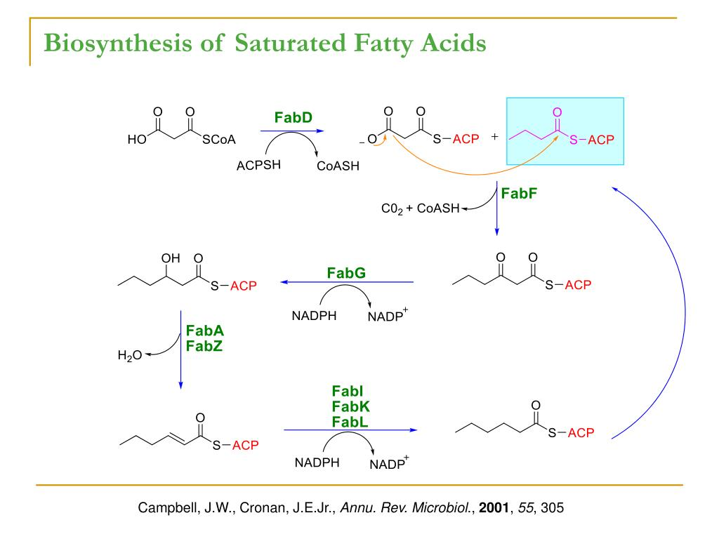 Biosynthesis of Saturated Fatty Acids
