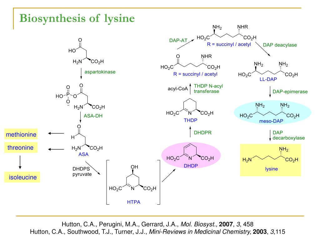 Biosynthesis of lysine