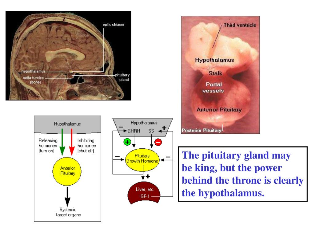 The pituitary gland may be king, but the power behind the throne is clearly the hypothalamus.