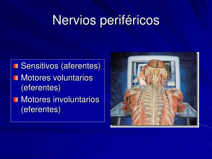 Nervios periféricos