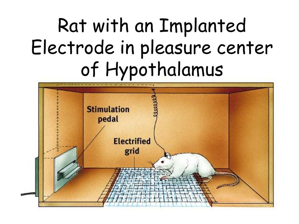 Rat with an Implanted Electrode in pleasure center of Hypothalamus