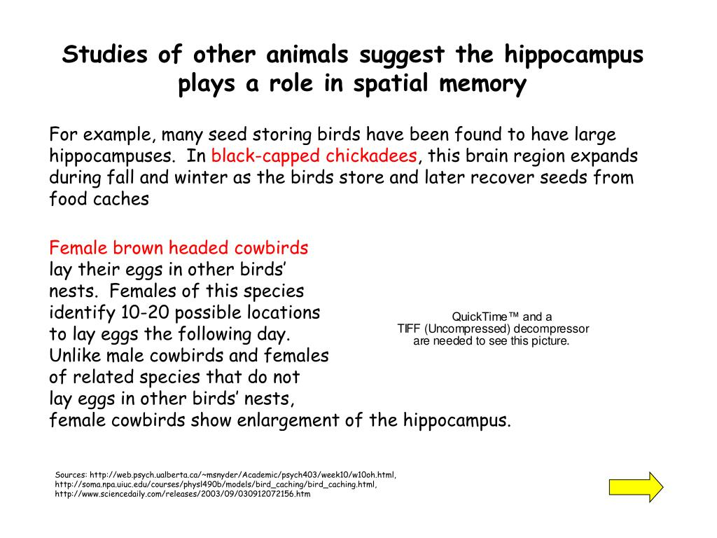 Studies of other animals suggest the hippocampus plays a role in spatial memory