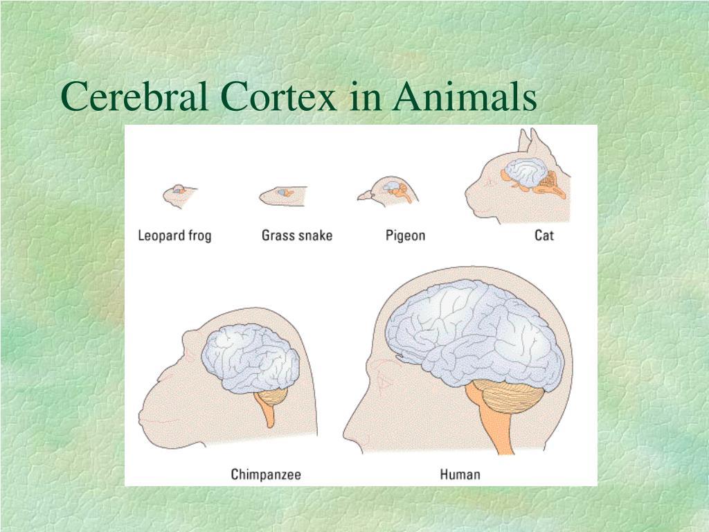 Cerebral Cortex in Animals