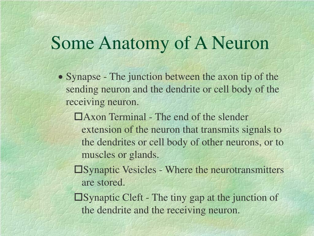 Some Anatomy of A Neuron
