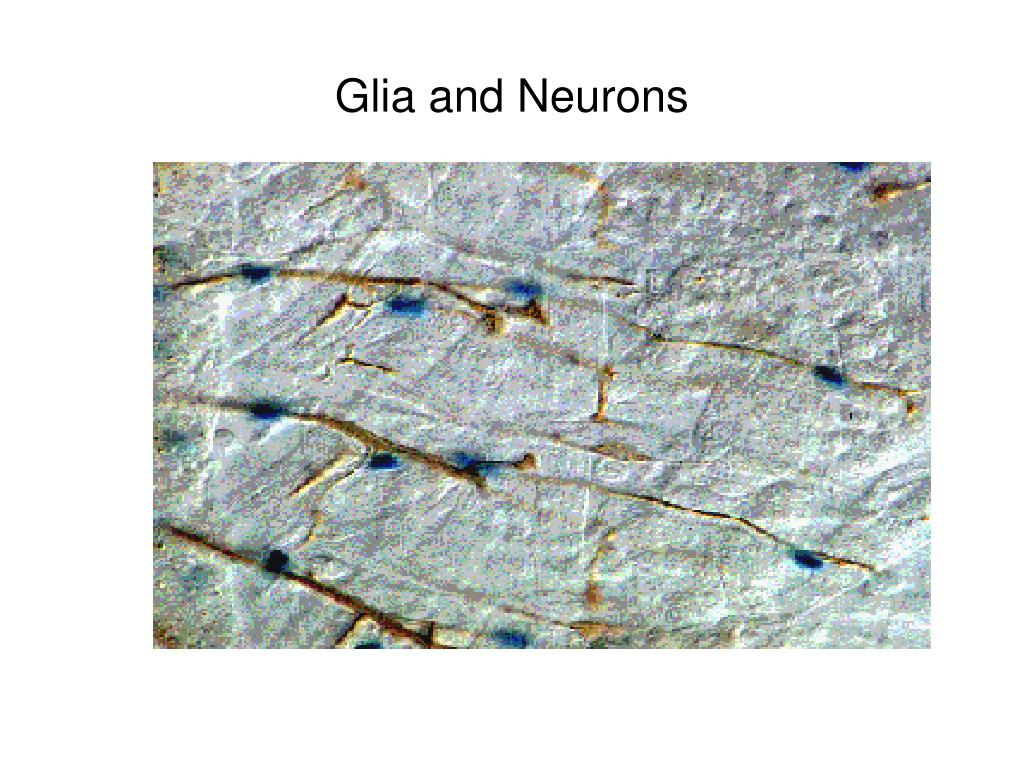 Glia and Neurons