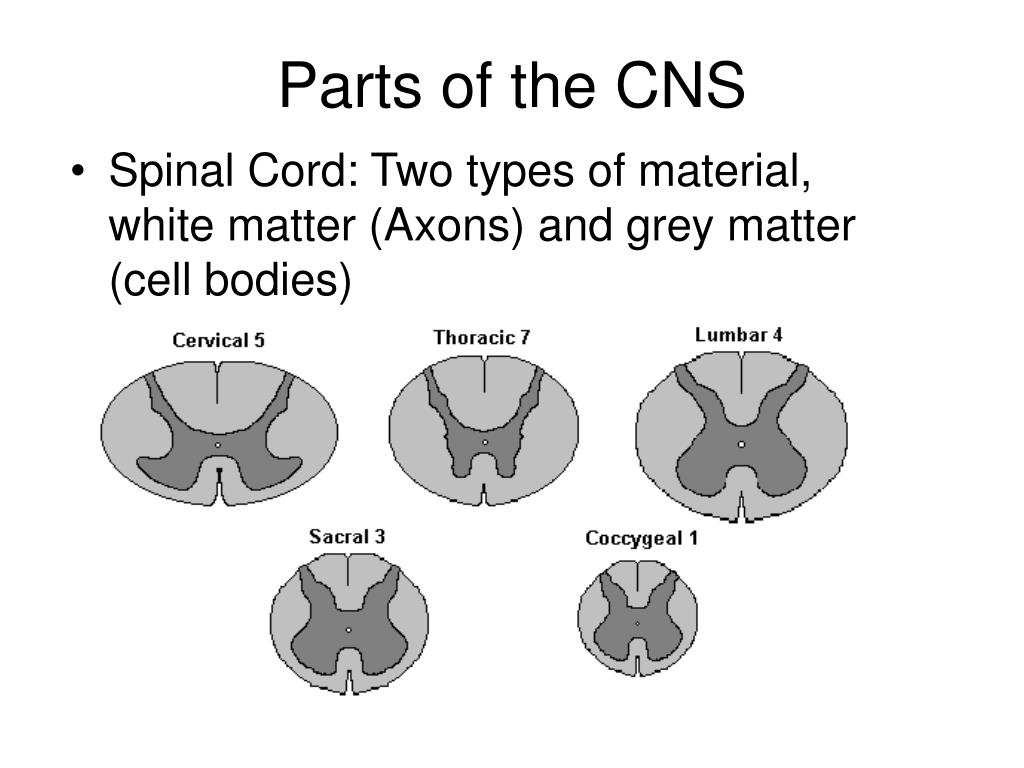 Parts of the CNS