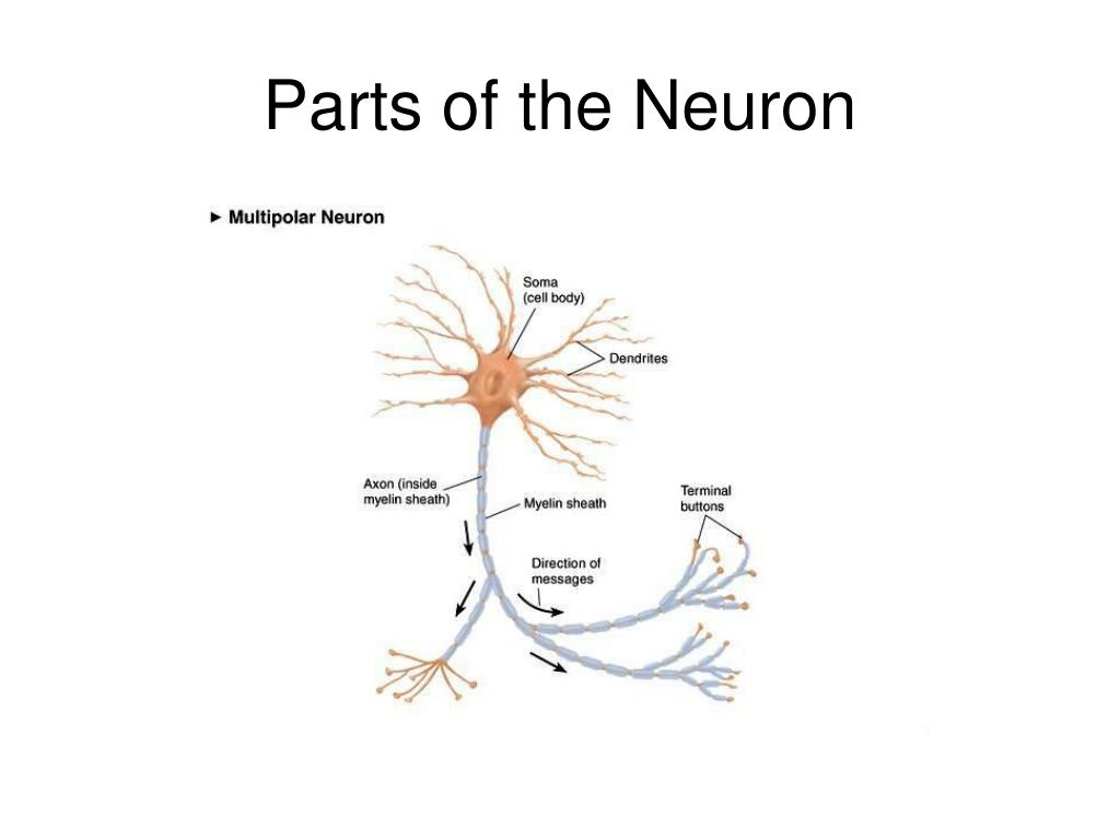 Parts of the Neuron