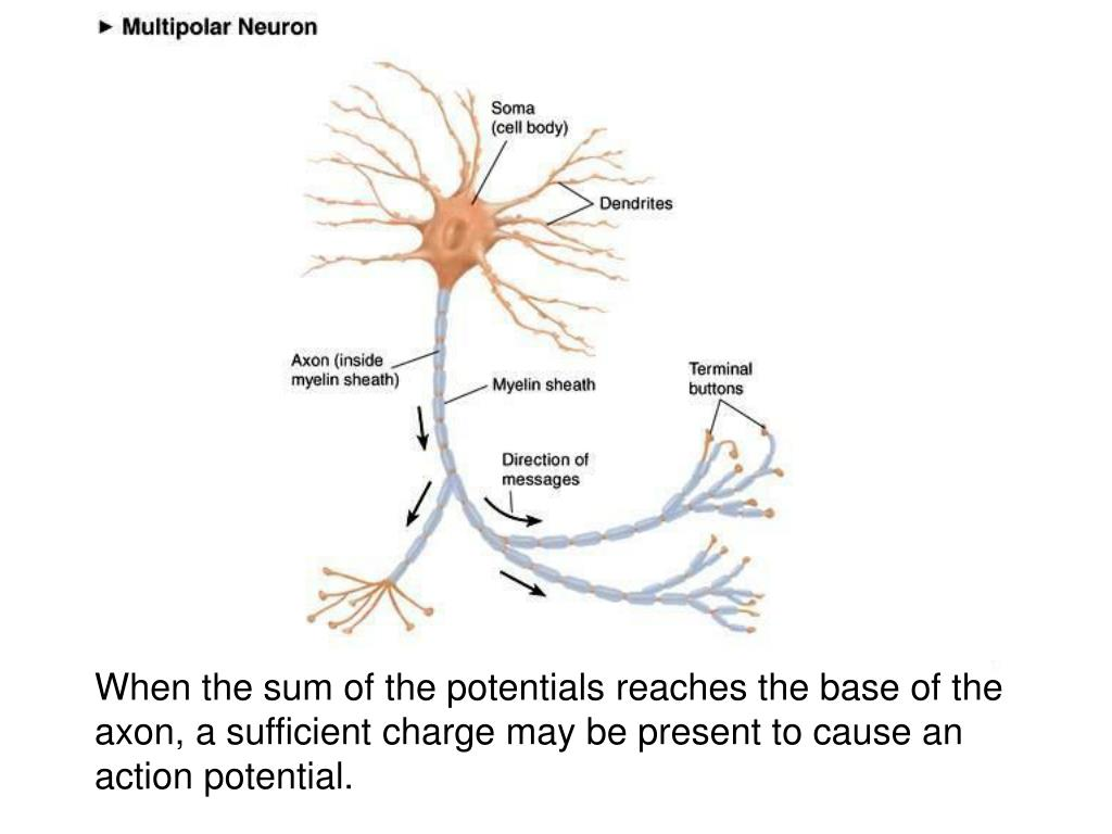 When the sum of the potentials reaches the base of the axon, a sufficient charge may be present to cause an action potential.