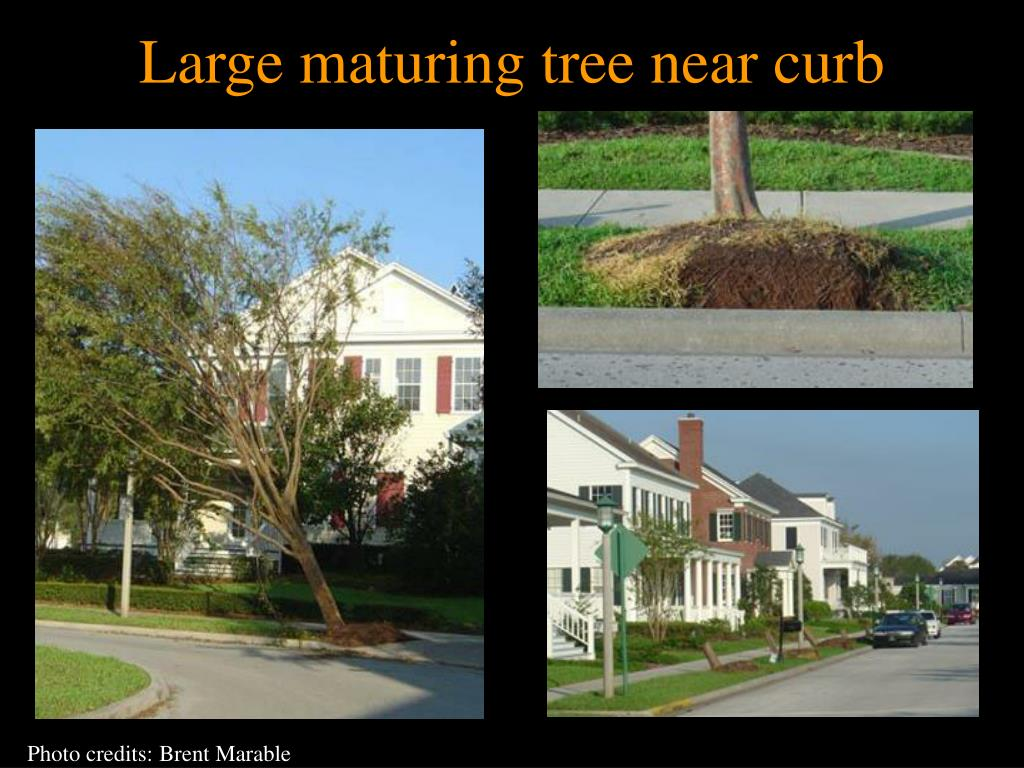 Large maturing tree near curb