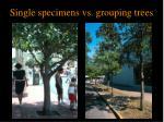 single specimens vs grouping trees
