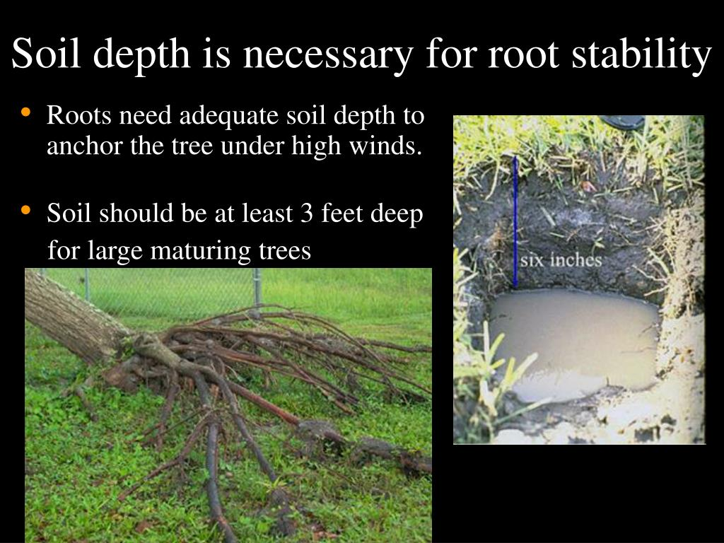 Soil depth is necessary for root stability