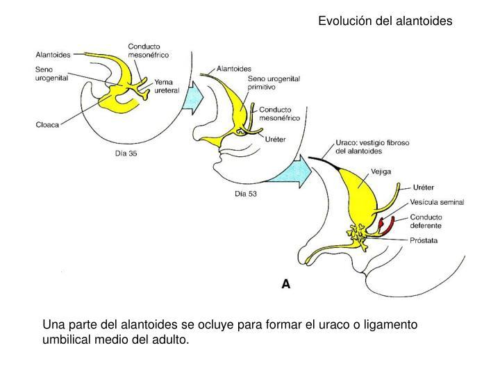 Evolución del alantoides