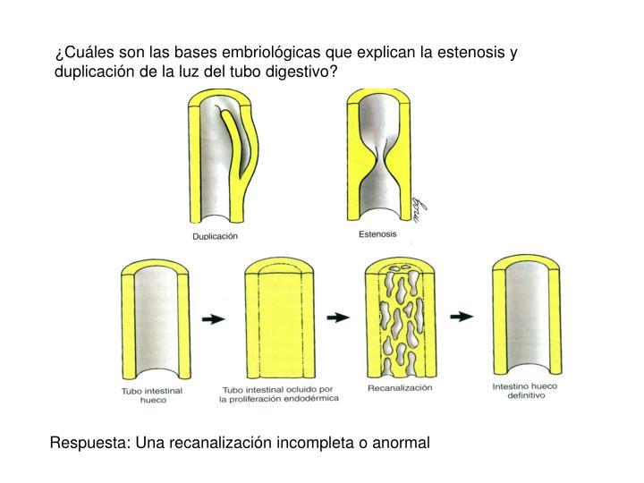 ¿Cuáles son las bases embriológicas que explican la estenosis y duplicación de la luz del tubo digestivo?