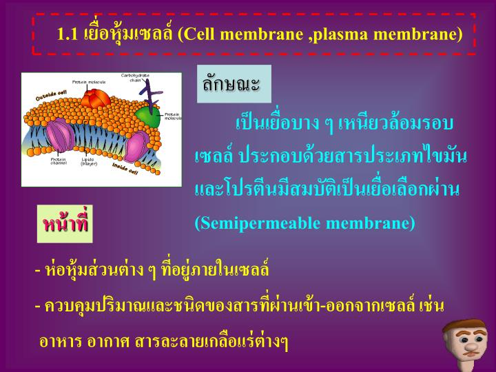 1.1 เยื่อหุ้มเซลล์ (