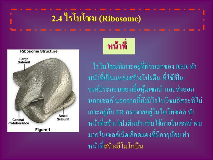 2.4 ไรโบโซม (
