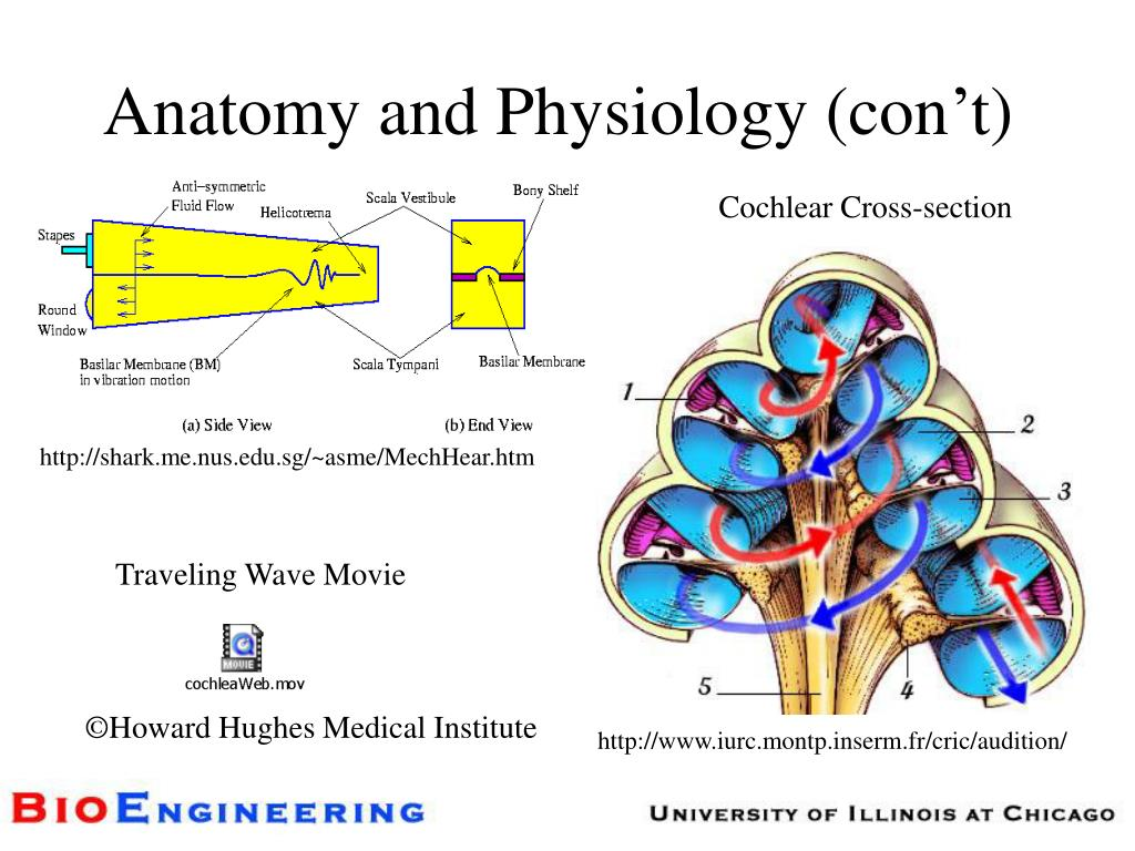 Anatomy and Physiology (con't)