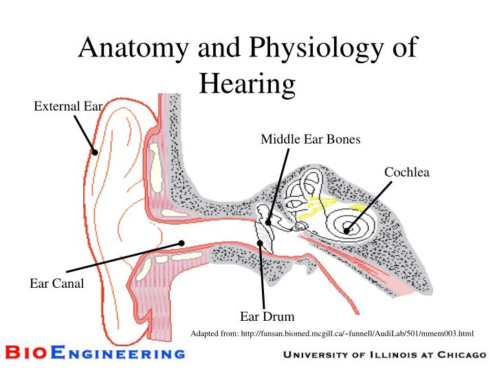 Anatomy and physiology of hearing l.jpg
