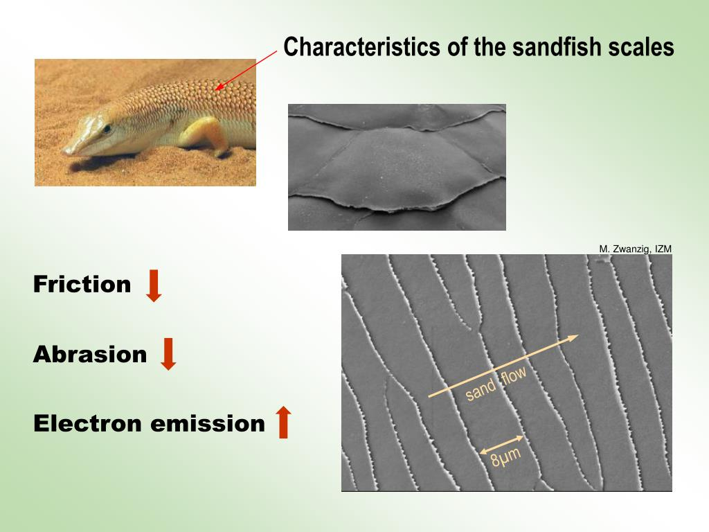 Characteristics of the sandfish scales