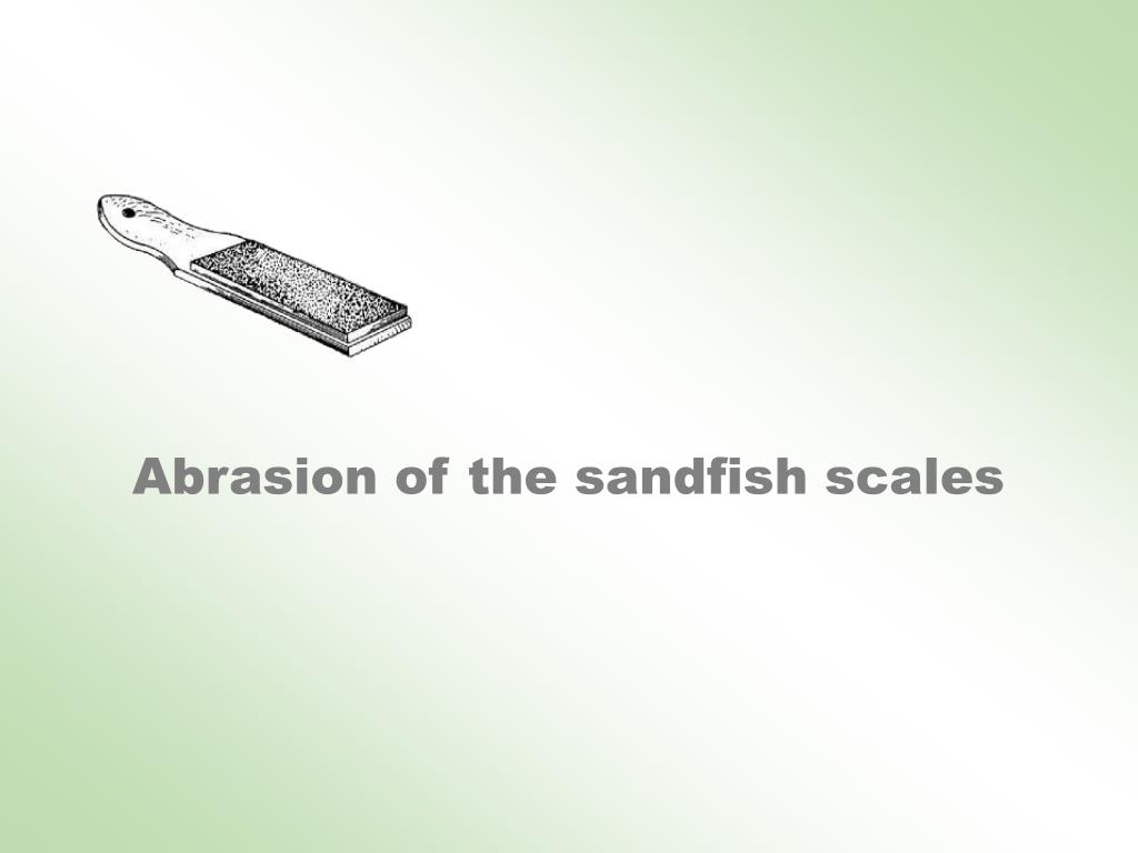 Abrasion of the sandfish scales