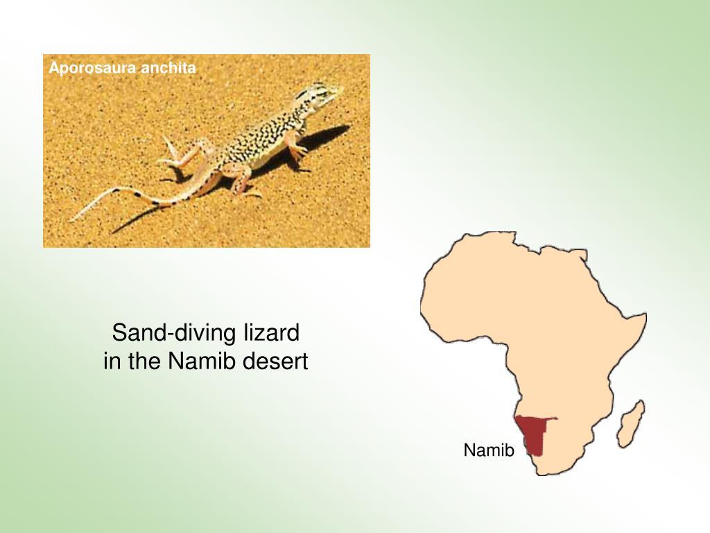Aporosaura anchita