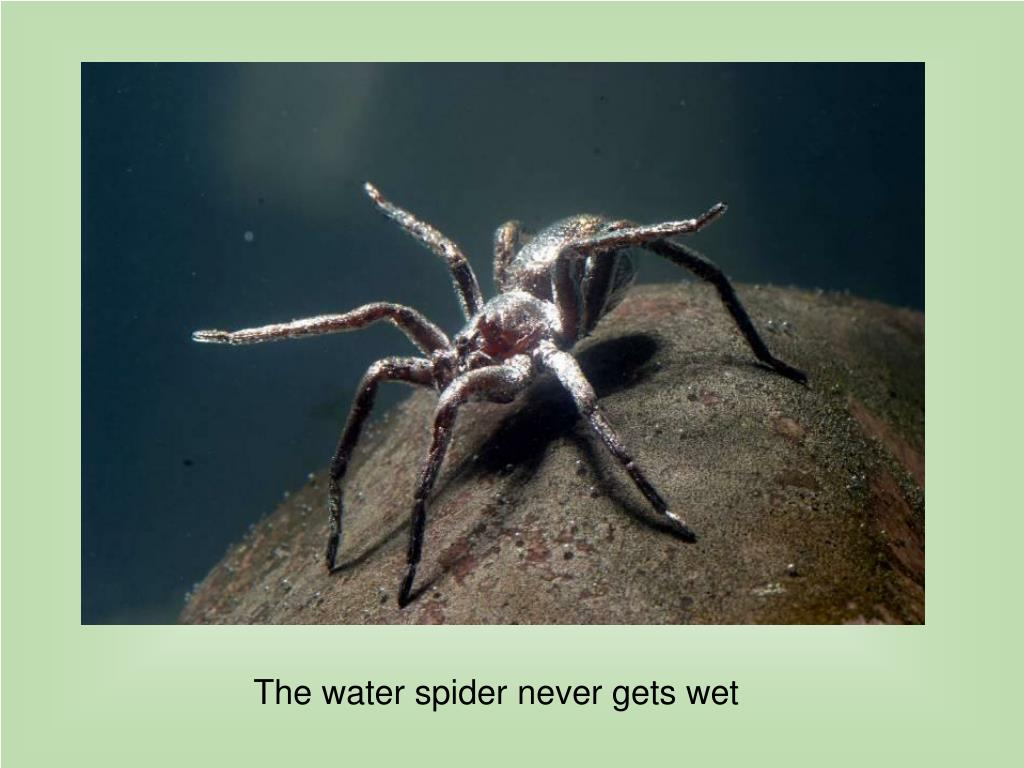 The water spider never gets wet