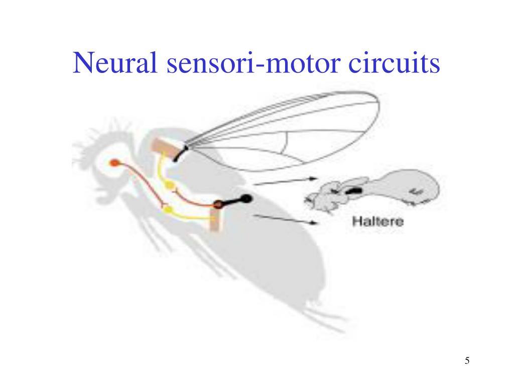 Neural sensori-motor circuits