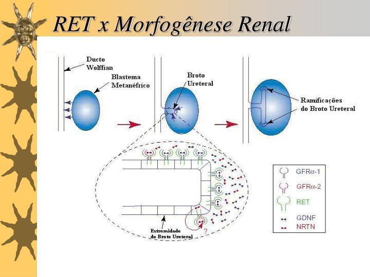 RET x Morfogênese Renal